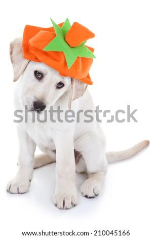 Halloween or Thanksgiving Labrador puppy dog wearing pumpkin costume on white - stock photo