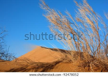 Haloxylon plants and sand dune in national park Altyn-Emel, Kazakhstan - stock photo