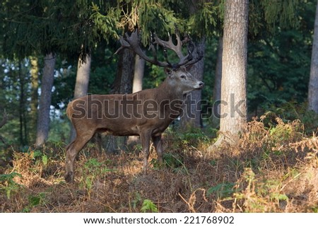 Haltern am See, Germany - October 3, 2014: Naturwildpark Portrait of a red deer during the rut, Germany