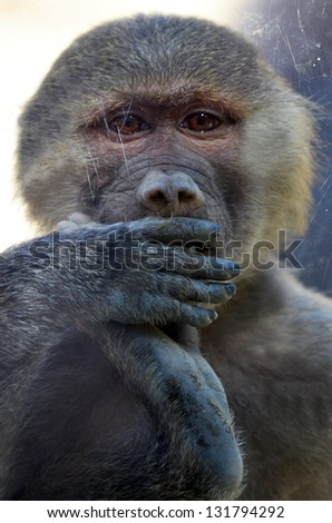 Hamadryas infant baboon looks through a shield glass. (Close up)