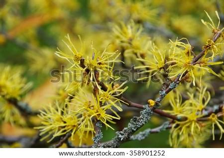 Hamamelis virginiana is blooming in fall - stock photo