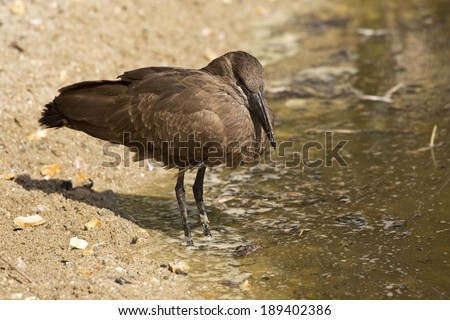 Hamerkop (Scopus umbretta) standing next to a small brown pool of water. - stock photo
