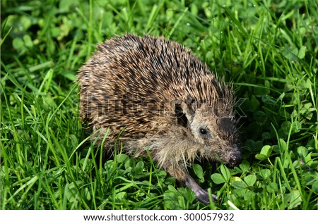 HAMILTON ,NZL - MAY 27 2015:Sick Hedgehog walks on green grass. Hedgehogs suffer many diseases common to humans, these include cancer, fatty liver disease and cardiovascular disease.