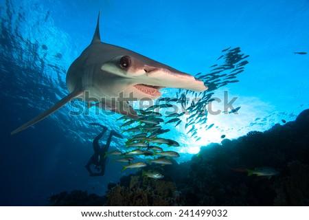 Hammerhead shark and school of fish - stock photo