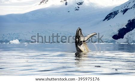 Hampback whale breaching jumping   - stock photo