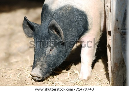 Hampshire pig digging in the dirt with his snout. - stock photo