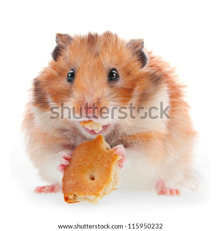Hamster eat cookie isolated on white - stock photo