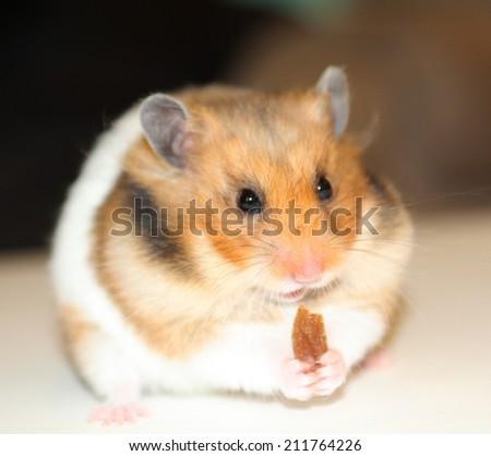 Hamster eating raisin - stock photo
