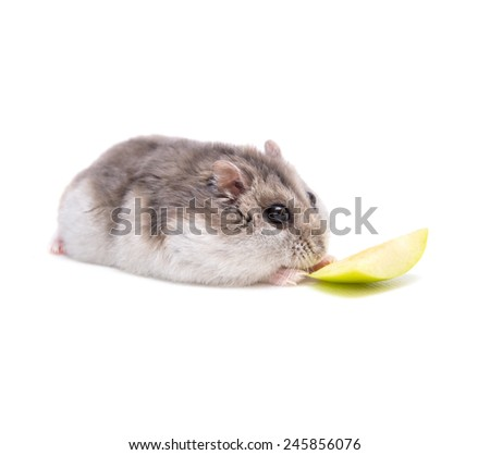 Hamster eats in front of a white background  - stock photo