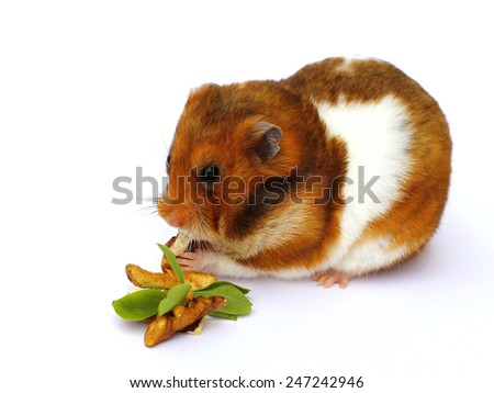 hamster eats nuts on a white background - stock photo