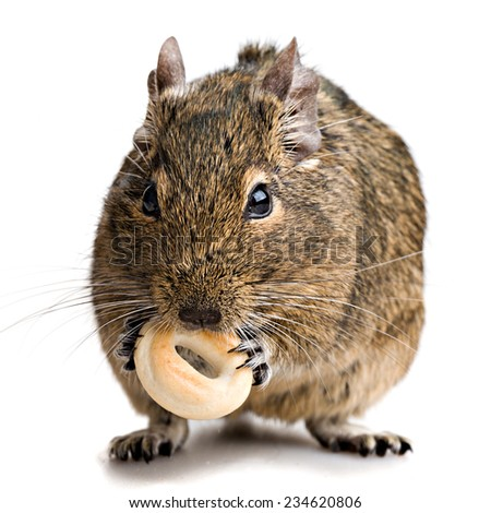 hamster gnawing bake  full-size view isolated on white background - stock photo