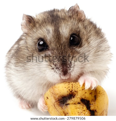 hamster holding a old banana. Isolated on white - stock photo