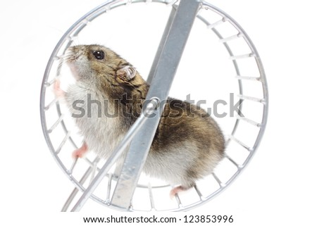Hamster in a wheel - stock photo