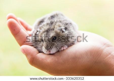 Hamster in hand . - stock photo