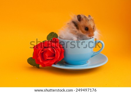 Hamster in the blue coffee cup with red rose on golden background - stock photo