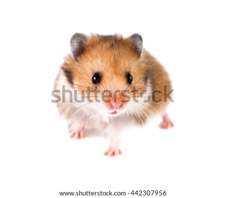 Hamster on a white background.
