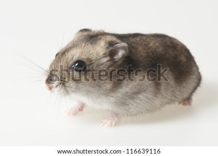 hamster - pet on white background