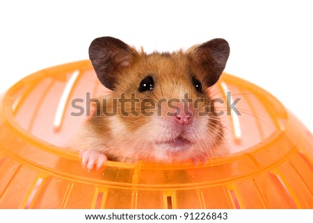 Hamster Popping his Head out of a Ball / This is a Brown Hamster pooping his head out of an orange Ball. White backdrop is perfect for adding to an advertisement. - stock photo