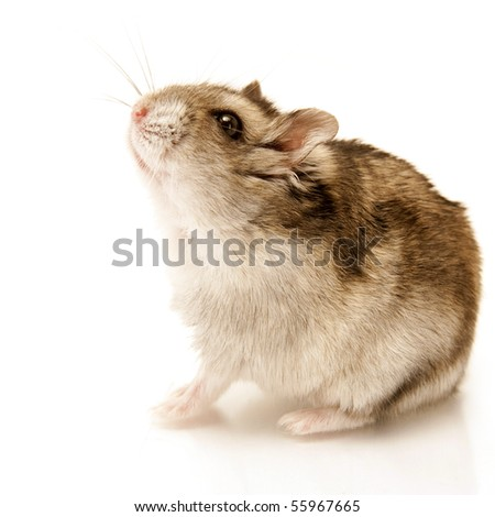 hamster sitting isolated on white - stock photo
