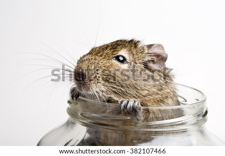 hamster snout looking out glass jar closeup isolated on white - stock photo