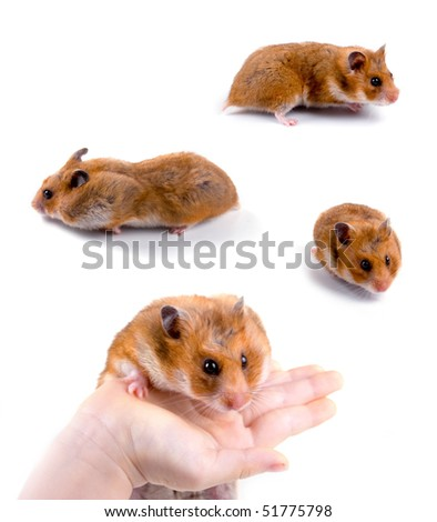 Hamsters isolated on a white background, collection - stock photo