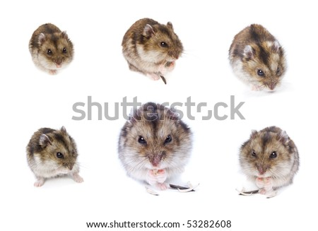 Hamsters. Set. Isolated on white