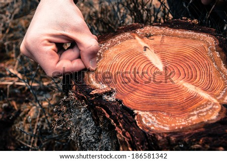Hand counting tree rings on a cut log in a conifer forest - stock photo