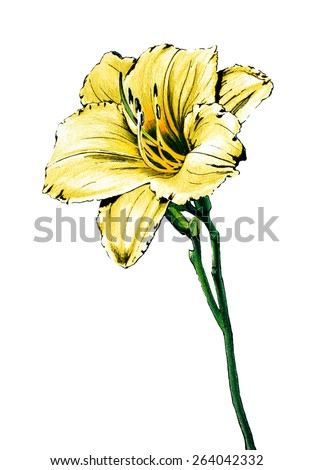 hand drawn flower color pencil sketch outlined in ink, single yellow day lily on green stalk illustration, stella de oro daylily isolated on white background - stock photo