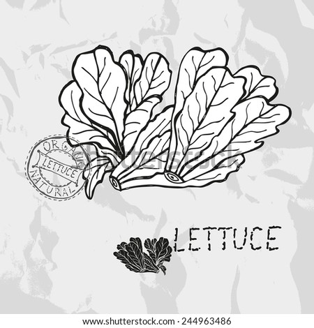Hand drawn lettuce, design elements. Vegetable. Can be used for cards, invitations, gift wrap, print, scrapbooking. Kitchen theme - stock photo