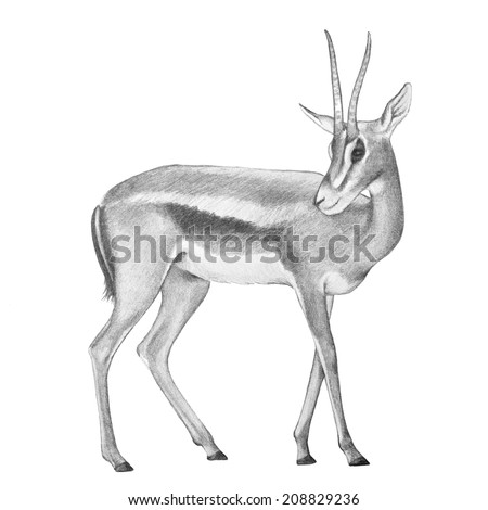 Antelope Face Drawing Hand Drawn Pencil Sketch of
