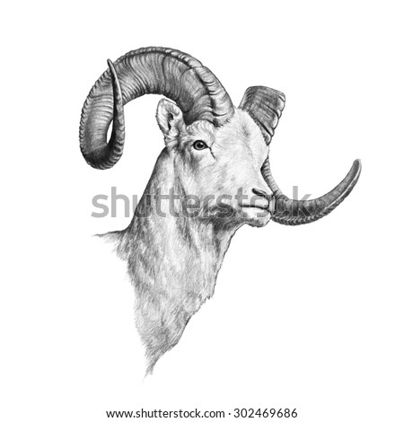 Long horn sheep coloring pages ~ Abbie's Portfolio on Shutterstock