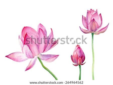 Hand drawn watercolor illustration Three pink Lotus - stock photo