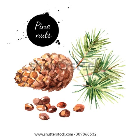 Hand drawn watercolor painting of pine nuts isolated on white background. Illustration of nut for your design - stock photo