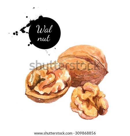 Hand drawn watercolor painting of walnut isolated on white background. Illustration of nut for your design - stock photo