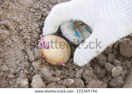 Hand farmer, plant potatoes in the ground sprouts in spring