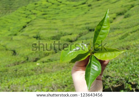 Hand from a women to hold tea leafs in background from the tea plantation.