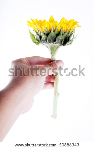 Hand giving a sunflower over white background