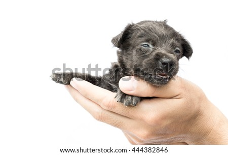 Hand hold  cute baby dog black color on white background - stock photo