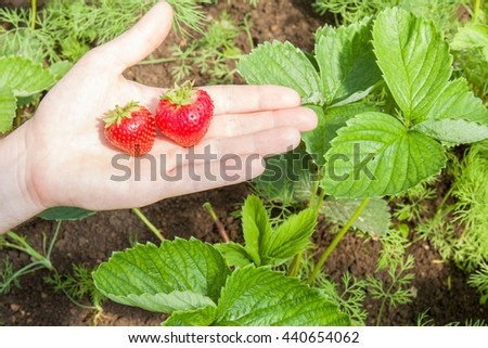 Hand holding beautiful, red and fragrant strawberries. They are  ready for eating. Strawberries are a very sweet. - stock photo