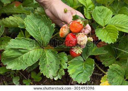 hand holding bunch of strawberries - stock photo