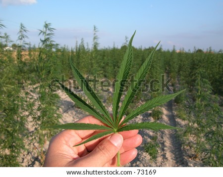 Hand holding cannabis leaves (marijuana) in front of cannabis plantation