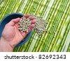 Hand holding dried peas - stock photo