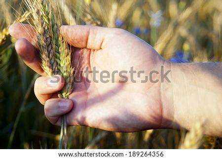 hand holding ears rye - stock photo