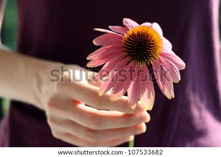 hand holding Echinacea Purpurea,  Eastern purple coneflower - stock photo