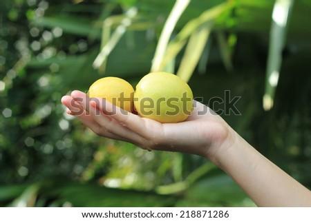 Hand holding Fresh limes. - stock photo