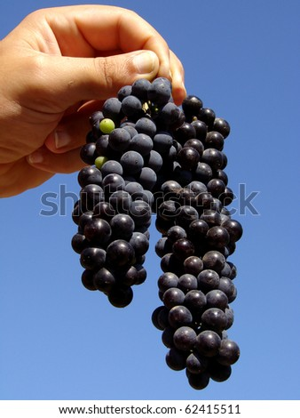 hand holding grape clusters against blue sky - stock photo