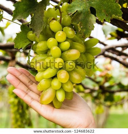 hand holding grape tending in vineyard - stock photo
