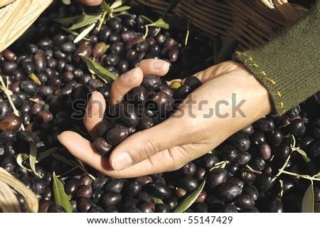 hand holding olives - stock photo