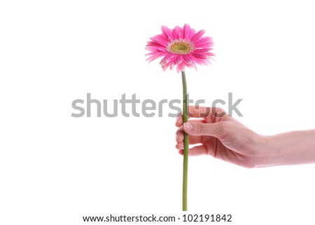 Hand holding pink gerber daisy isolated on white