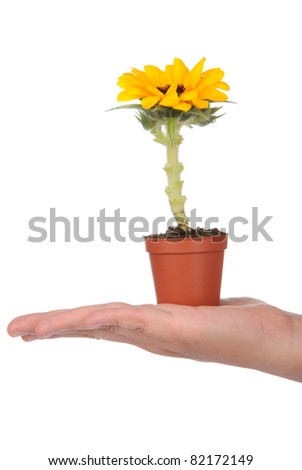 Hand holding pot with small sunflower on white background - stock photo